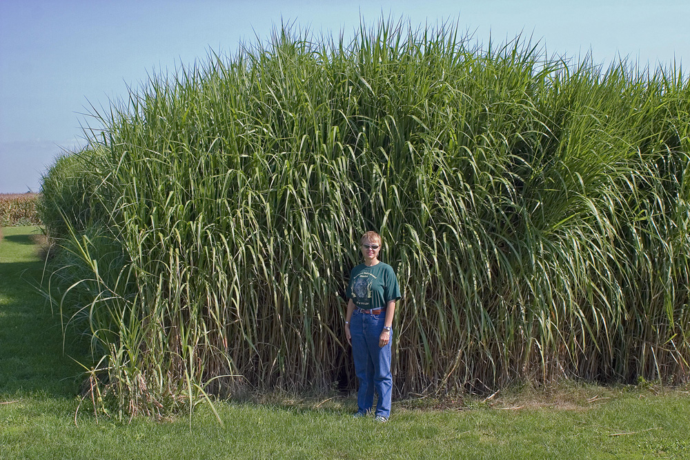 (Pictures little fountain miscanthus mn. landscape grasses miscanthus) (landscape grasses ...