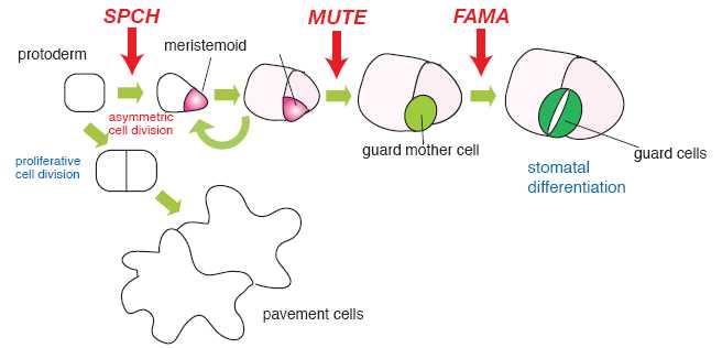 """2月1日的《自然》印刷版将刊登两项独立的研究成果。华盛顿大学的Torri研究组和另一个斯坦福大学的研究组分别发现了一种名为""""无语""""的基因。此外,Torii研究组还发现了另外一个叫做""""沉默""""的基因,该基因触发了细胞完全发育为气孔的中间步骤。2006年早些时候斯坦福的研究组宣布他们发现了控制气孔发育最后一步的一个基因——Fama。"""
