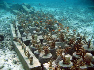 A succesful coral transplant site in Aceh, Indonesia, some four years after the tsunami (Rizya Legawa).