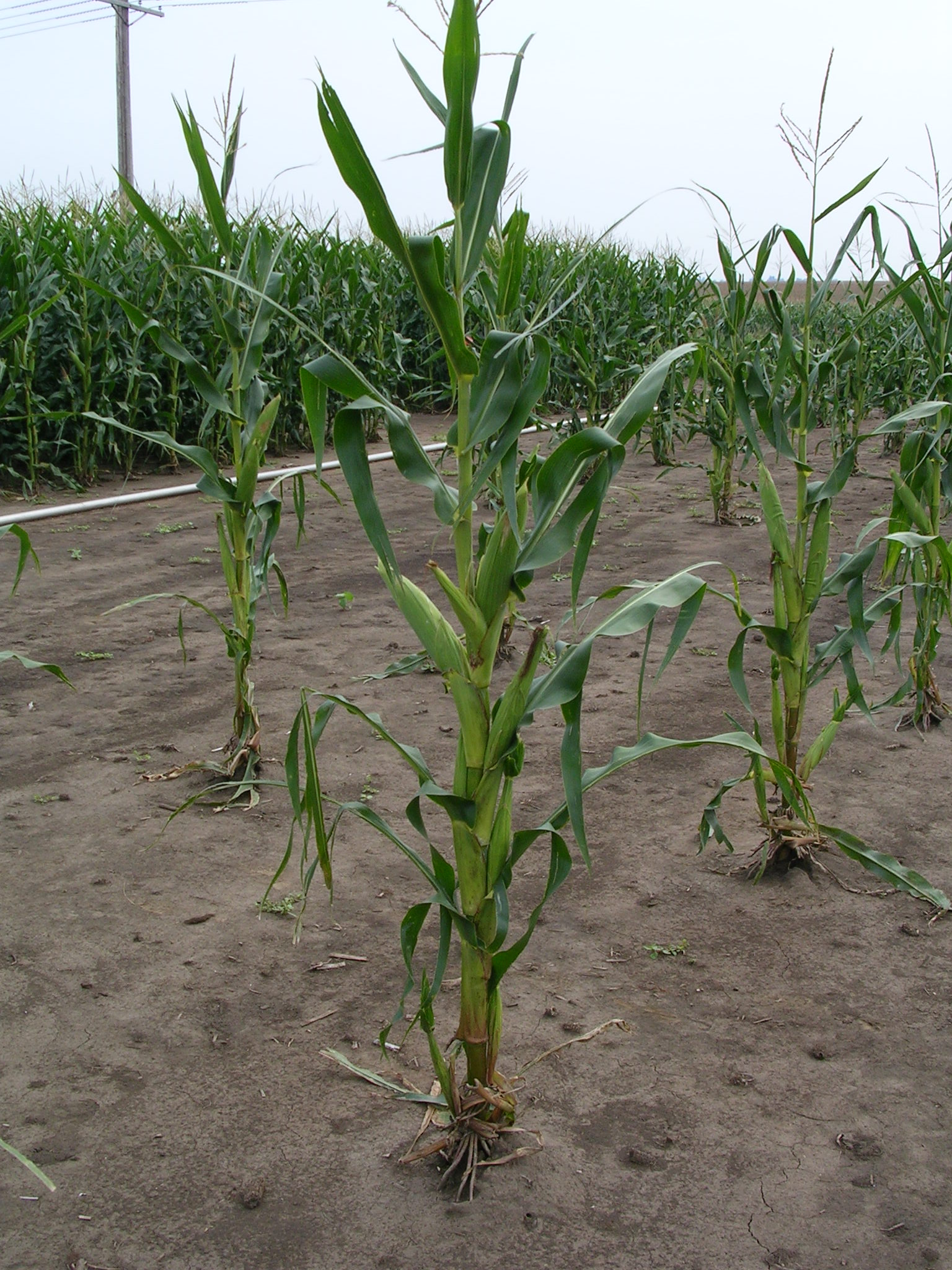 Plants Low Light Early Season Light Quality Affects Corn Growth And Yield