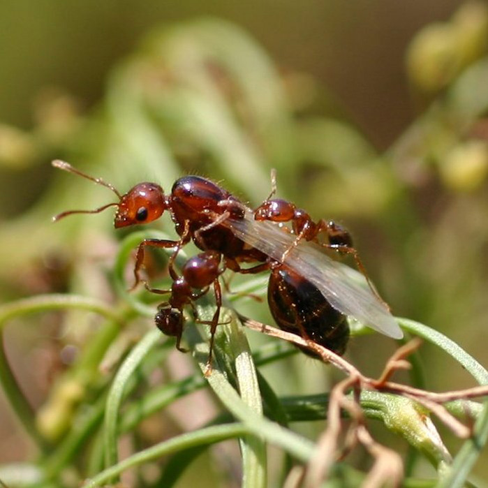 Queen Fire Ant Fast-Evolving Genes Co...