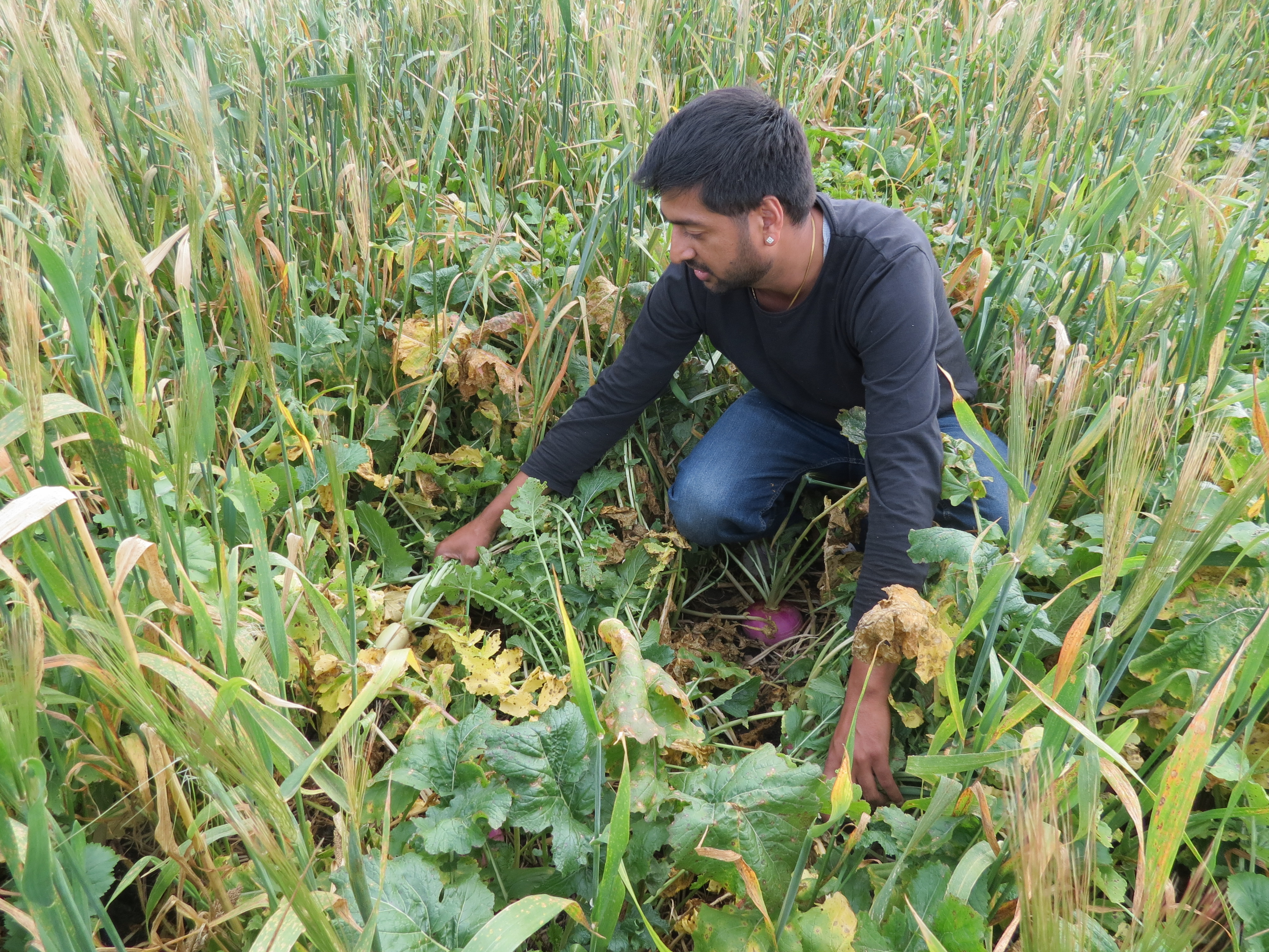 Fall Cover Crops For Livestock Grazing May Improve Soil