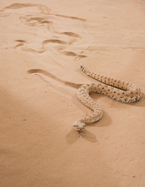 Snakes and Snake-like Robots Show How Sidewinders Conquer Sandy Slopes