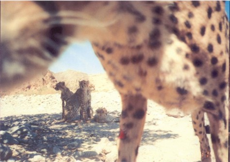 Newswise: In Iran, Camera Traps Reveal Rare Asiatic Cheetahs