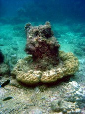 Newswise: Tsunami-Damaged Coral Reefs Expected to Recover Quickly