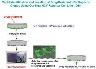 Tang and Nelson's New HCV reporter cell line, GS4, allows rapid identification and isolation of drug-resistant HCV Replicon Clones. The process takes less...