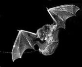 Newswise: Bats Use Guided Missile Strategy to Capture Prey
