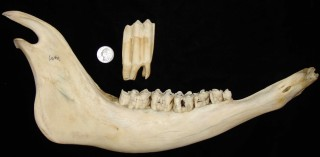 The third molar from a bison jawbone grows to 3 inches in length and has several times more surface area than a quarter.