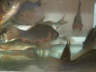 Newswise: Physiology Allows Crucian Carp to Survive without Oxygen
