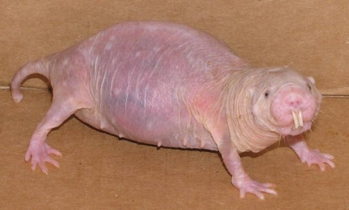 Newswise: Naked Mole-Rat Unfazed by Oxidative Stress
