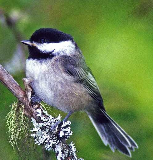 The alarm calls of a chickadee carries a surprising amount of information.
