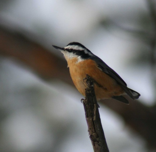 The red-breasted nuthatch can understand the warning given by the chickadee in its alarm call.