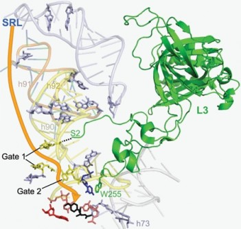 Newswise: New Ribosome Finding Could Lead to Antiviral Therapies