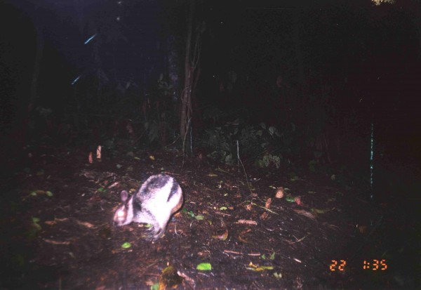 The Sumatran striped rabbit is one of the rarest rabbits in the world, known only from a handful of photos, including this recent one from the forests of Sumatra.