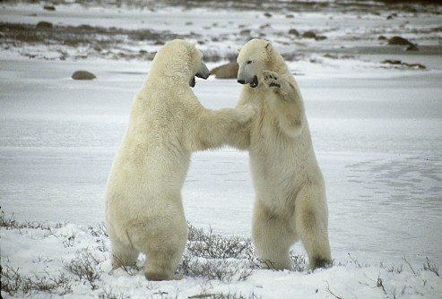 Newswise: Want to Save Polar Bears? Follow the Ice