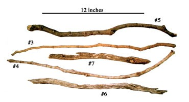 Pictured are sticks used as tools by savanna chimpanzees to excavate underground food resources. Tool-wielding savanna chimps of western Tanzania used these sticks to crack a tough layer of soil to excavate the underground storage organs - tubers, roots and bulbs - of plants as a food resource. The behavior by chimps to excavate underground food resources with tools has never been documented before, according to University of Wisconsin-Madison anthropologist Travis Pickering, and may resemble behaviors of the earliest hominids as they migrated from the forest to the African savanna five million years ago.
