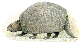 Reconstruction of the glyptodont <I>Parapropalaehoplophorus septentrionalis</I>, based on a partial skeleton from the early Miocene of northern Chile. See Croft et al.