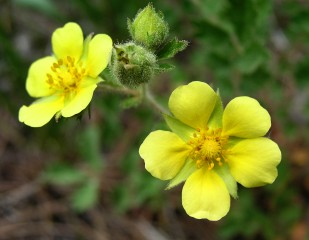 One of many different varieties of Cinquefoil that can be found growing wild in Colorado.
