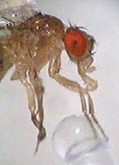 Newswise: Like Sweets? You're More Like a Fruit Fly Than You Think