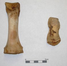 Newswise: Researchers, Led by Archaeologist, Find Pre-Clovis Human DNA
