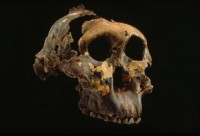 Newswise: Early Humans from East Africa Were Equipped to Dine on Hard Foods but Preferred a Softer Fare