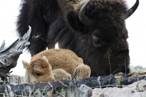 Newswise: The American Bison Can Thrive Again