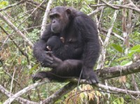 Newswise: Researchers Find Human Virus in Chimpanzees