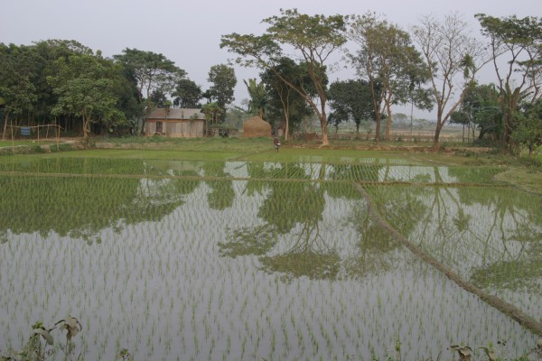 Rice paddy in Bangladesh.