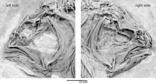 Newswise: Flatfish Fossils Fill in Evolutionary Missing Link