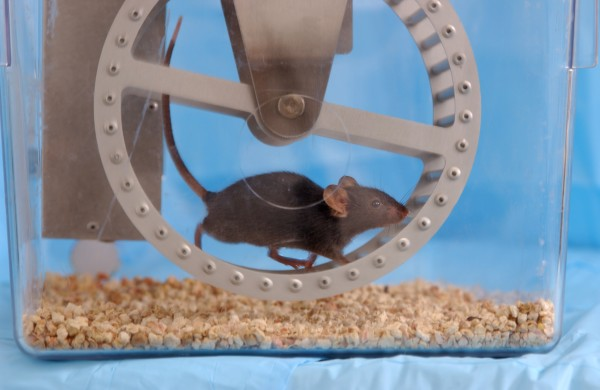 Mouse on a treadmill.