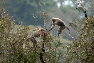 LEAPING TO EXTINCTION? Tanzania's kipunji monkey, discovered just three years ago, is now threatened with extinction according to a new study.