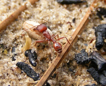 Newswise: Genes and Nutrition Influence Caste in Unusual Species of Harvester Ant