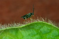Newswise: Diversity Among Parasitic Wasps Is Even Greater than Suspected