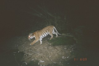 A tiger photographed using a remote camera in Myanmar's Hukaung Tiger Reserve.
