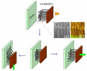 Schematic shows the change in vertically-aligned multi-walled carbon nanotubes during adhesion measurements.