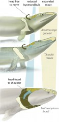 A new study of Tiktaalik roseae (middle), a 375-million-year-old transitional fossil, highlights an intermediate step between the condition in fish like...