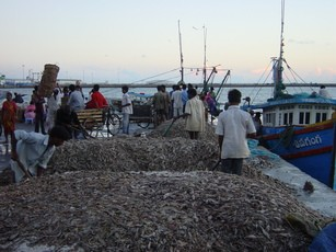 Newswise: Alarming New Study: World's Fish Catches are Being Wasted as Animal Feed