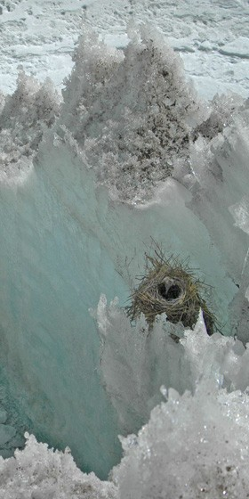 Nest of a Diuca Finch on the Quelccaya Ice Cap of Peru. It is among the highest-elevation nesting birds in the Western Hemisphere, if not the highest, at about 5,300 meters or more than 17,000 feet.