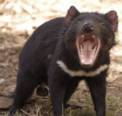 A male Tasmanian devil