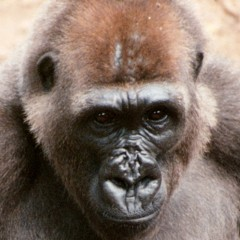 The newly created Takamanda National Park in Cameroon now protects the world's rarest great ape: the Cross River gorilla.