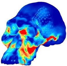 Newswise: Early Human Skulls Shaped for Nut-Cracking