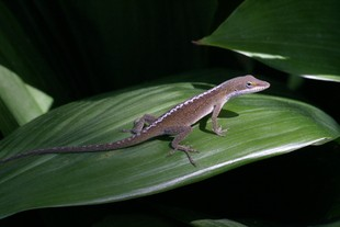 Newswise: Researcher Finds Tailless Lizards Lose Agility