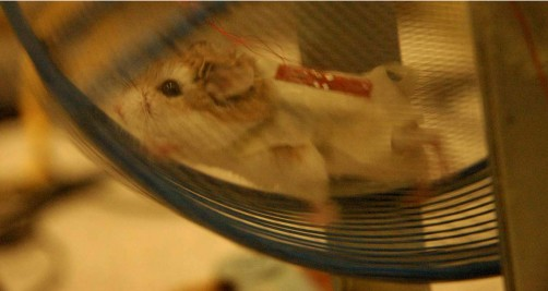 Newswise: Nanogenerators Produce Electricity from Running Rodents