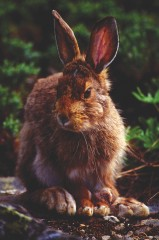 A snowshoe hare rests in Washington's Olympic National Park. University of Montana researcher Scott Mills studies this hare's population because it doesn't...
