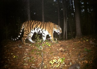"A Siberian tiger photographed by a remote ""camera trap"" in the Russian Far East."