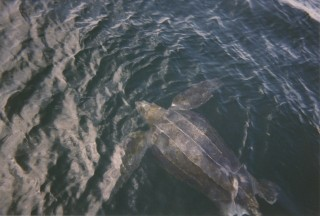 A leatherback turtle at sea