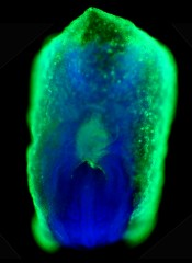 Distribution of the genetic regulatory protein, Smad4, in a mouse embryo at 8.5 days gestation. The green stain in the center is Smad4 expressed in the liver...