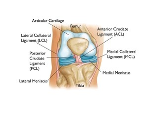 "Newswise: The ""˜Other' Cruciate Ligament:  Newer Treatments for PCL Tears"