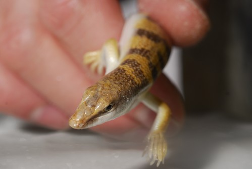 Newswise: Study Reveals Lizard Tucks Legs and Swims Through Sand