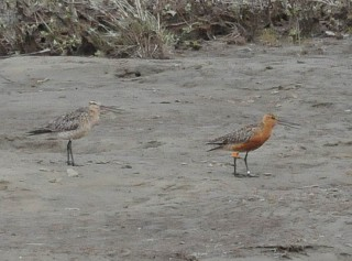 Tagged bar-tailed godwit seen in the Arctci some 8,000 miles from its original release.